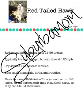 Microsoft Word - Red-Tailed Hawk Info.docx